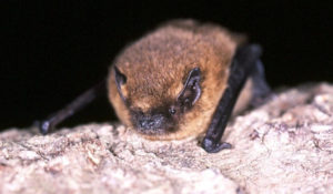 The Common Pipistrelle